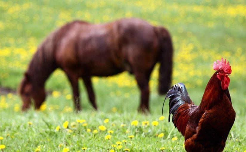 Лошади, курицы и петухи в нидерландском фольклоре